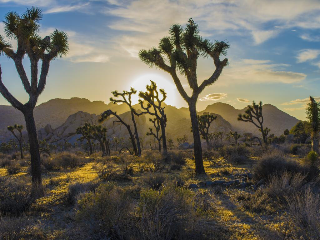 Joshua trees at sunrise in the Joshua Tree National Park with mountains in the background.