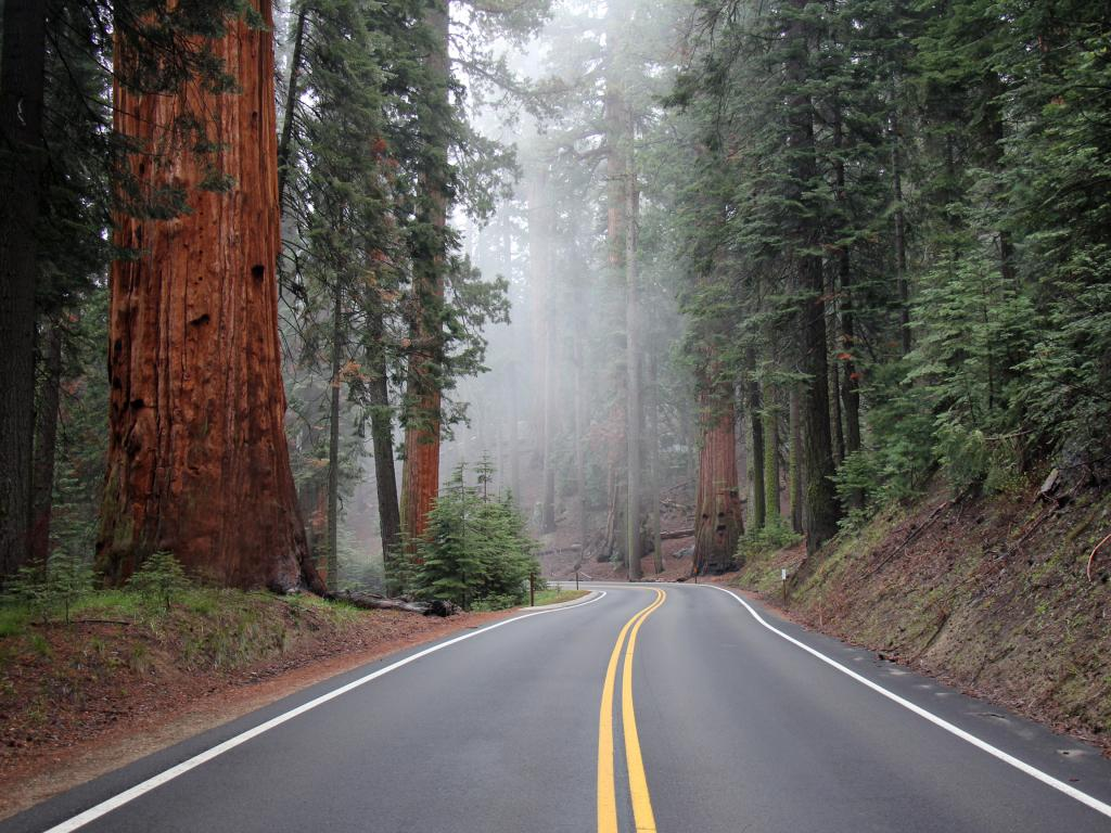 Road in the Sequoia National Park through a giant sequoia tree grove.