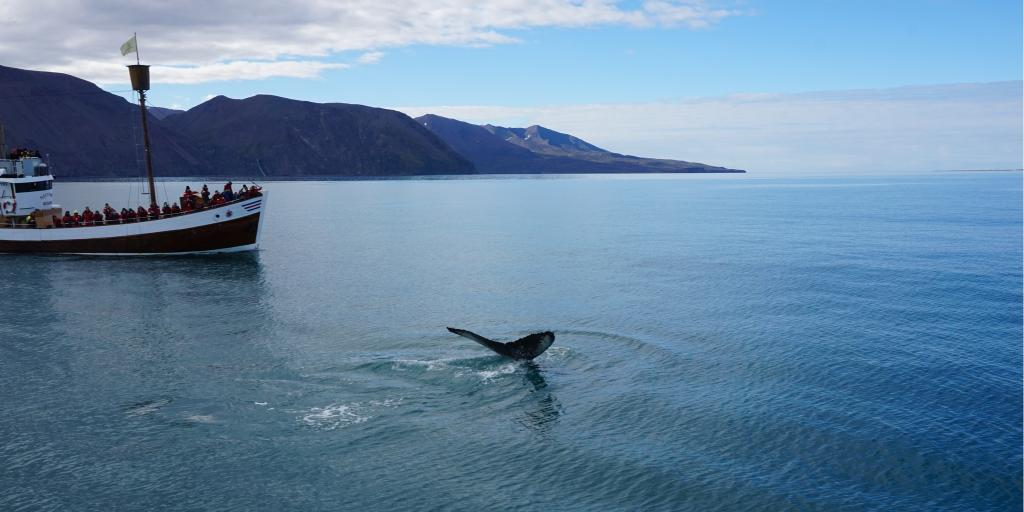 Whale in Husavik, Iceland