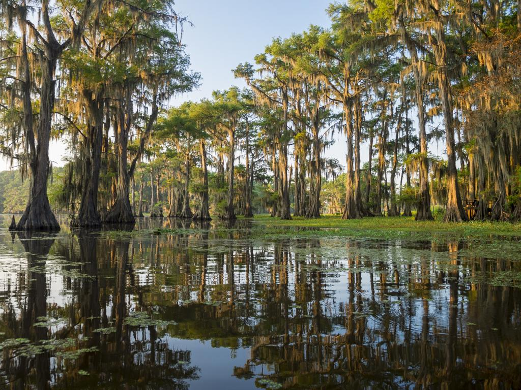 Bald cypress trees growing out of Caddo Lake on the Texas-Louisiana border.