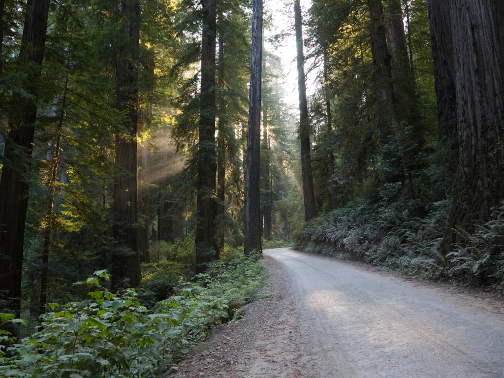 A road through the giant sequoias in the Redwood National Park in northern California.