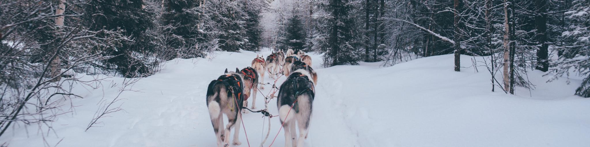 Dogs pulling a sled in the snow-covered town of Rovaniemi, Finland