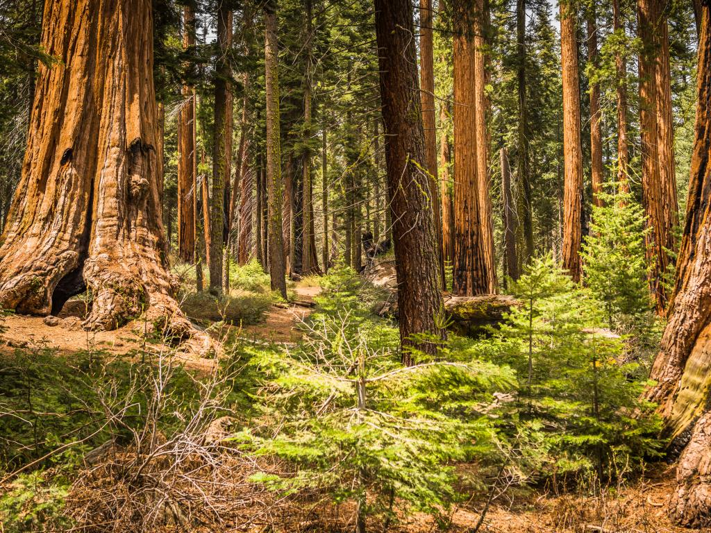 Giant sequoia trees growing in the Giant Forest Grove within the Sequoia National Park, California.