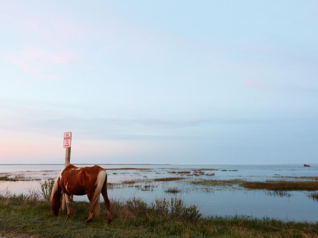 A wild horse grazing at sunset in front of a marsh on Chincoteague Island