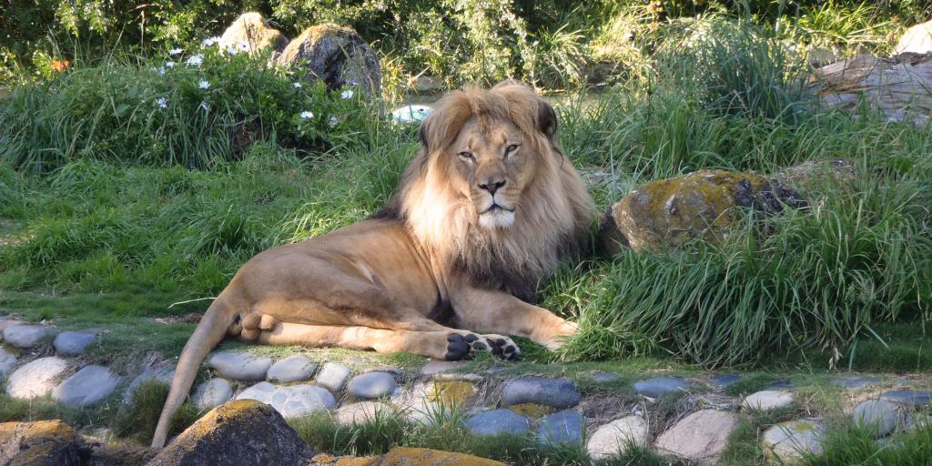 Lions relaxing in the San Francisco Zoo