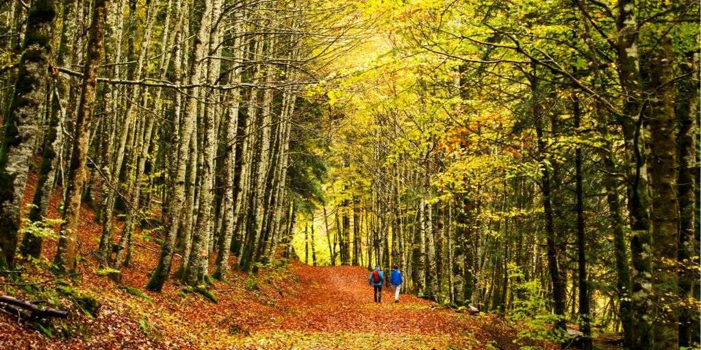 People walk through the bright autumn trees of Irati Forestin Navarra, Spain