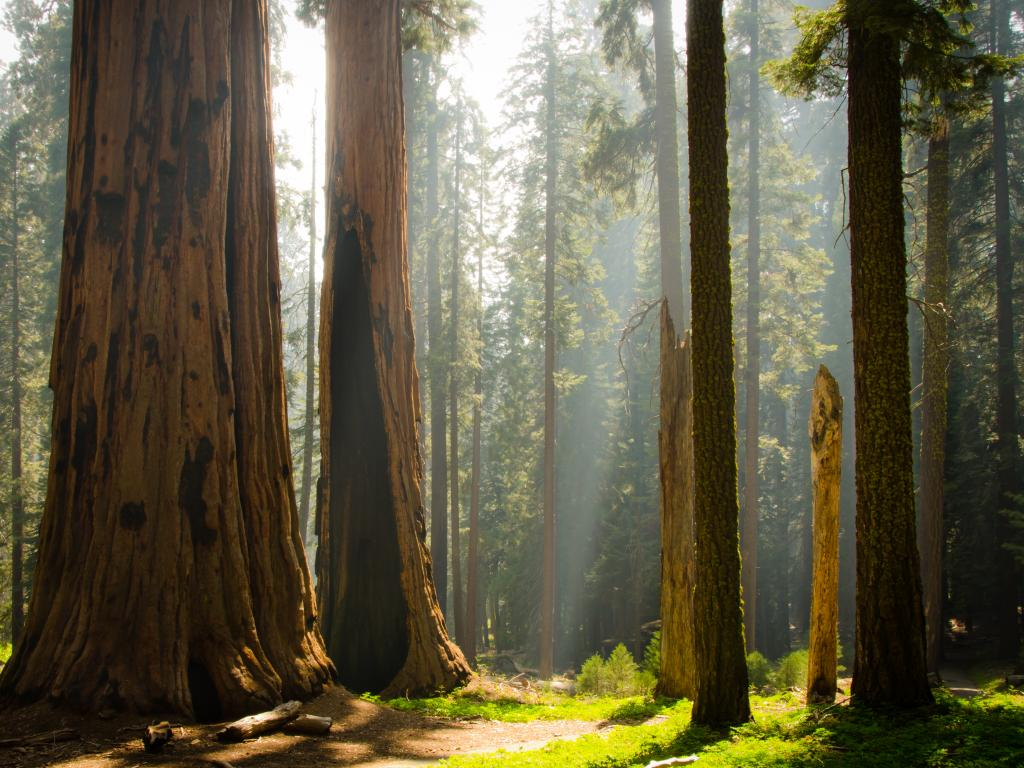 Sun shining through giant sequoia trees in the Kings Canyon National Park in California