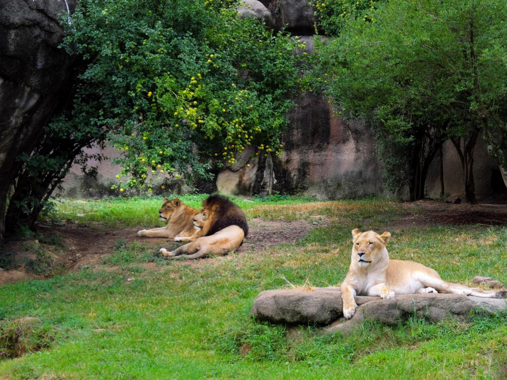 A family of lions relaxing in their Memphis Zoo enclosure