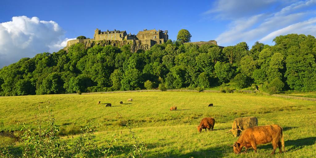 Cows graze on a green field below Stirling Castle in Scotland on a sunny day