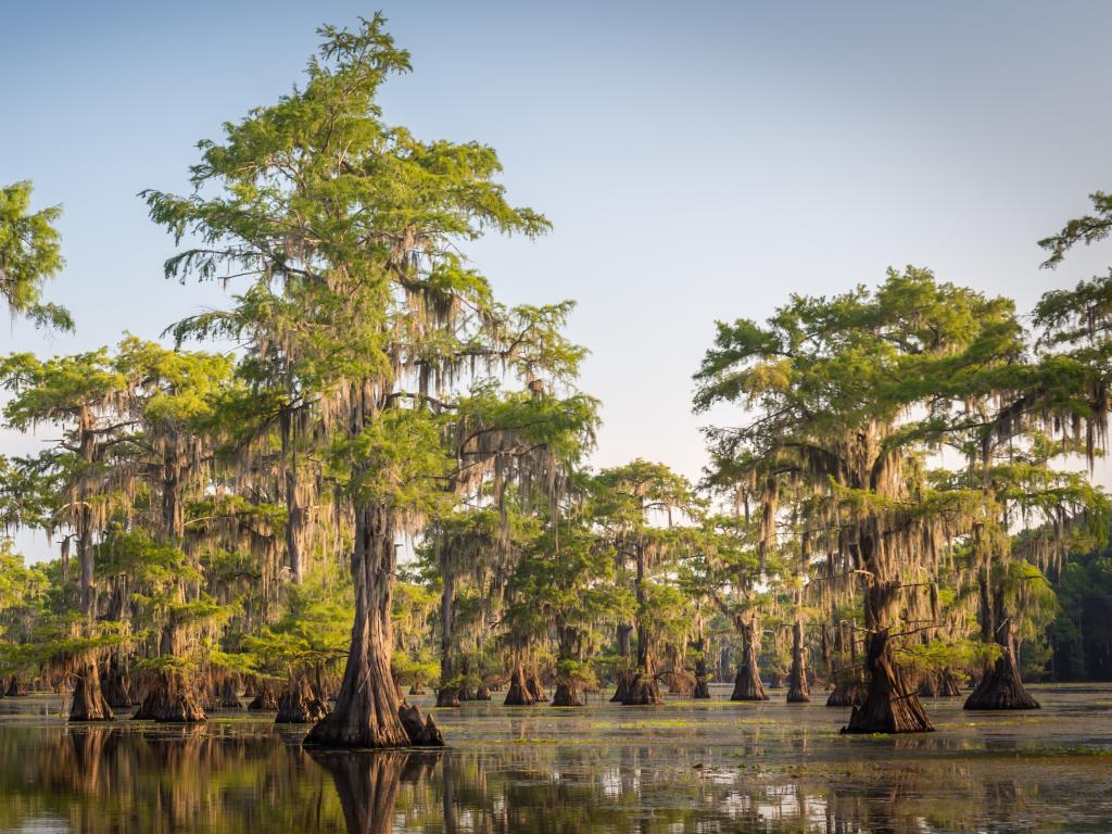 Tall bald cypress trees growing out of the swamp at Caddo Lake on the border between Texas and Louisiana.