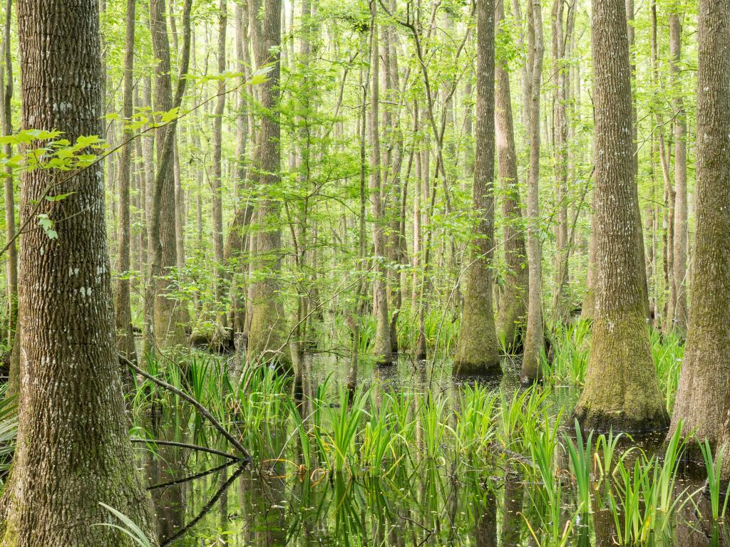 Cypress swamp in Savannah National Wildlife Refuge, seen on the road trip from Atlanta to Savannah
