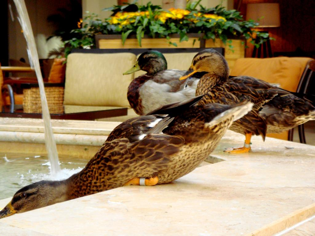 Peabody Hotel Ducks arriving at the fountain in Memphis, Tennessee