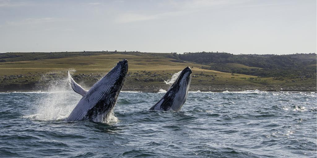 Two humpback whales breaching on the Wild Coast in South Africa