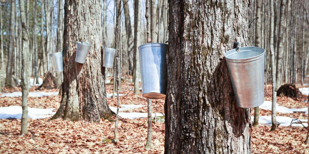 Containers attached to trees collecting maple sap at a sugar shack on Quebec