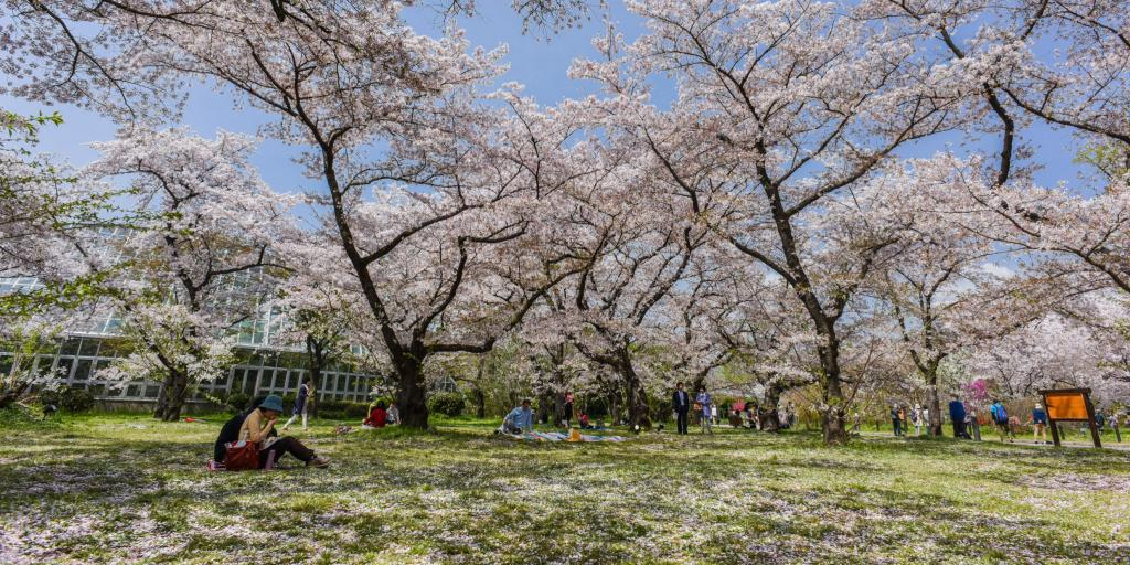 People relaxing under the cherry blossom trees in Kyoto