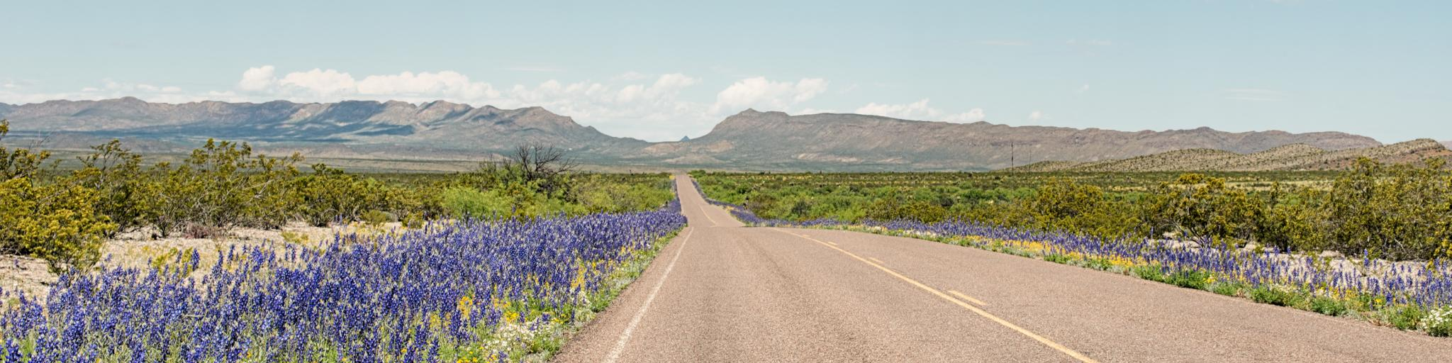 Bluebonnets growing along the roadside in Persimmon Gap on the edge of the Big Bend National Park in west Texas
