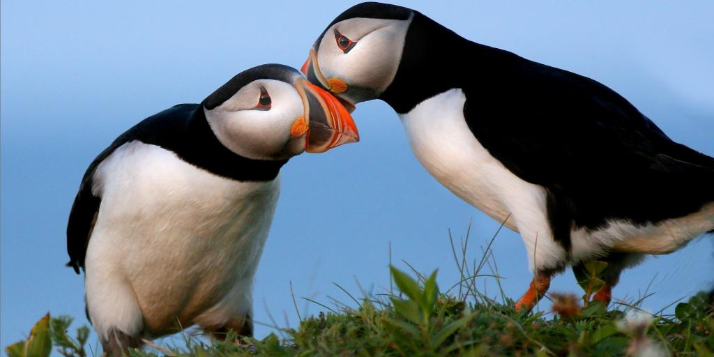 A pair of puffins rubbing cheeks