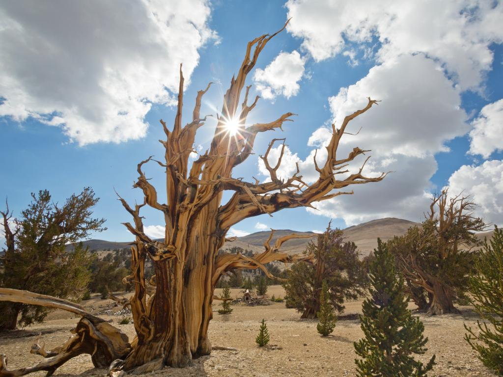 An image of Ancient Bristlecone Pine Forest on a hot sunny day and clear blue skies. The sun is shining over young and old pine trees.