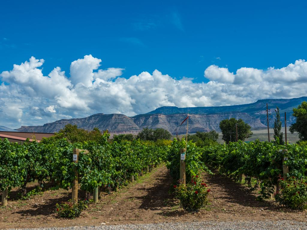 Vineyard rows planted in Palisade, Colorado with the Grand Mesa mountain in the background.