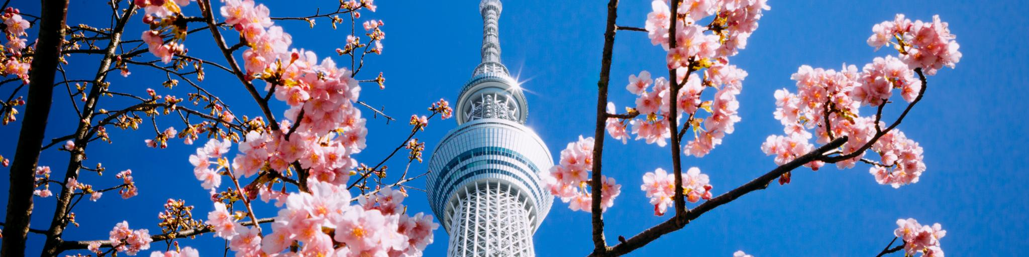 Cherry blossoms in front of the Tokyo Observation Deck