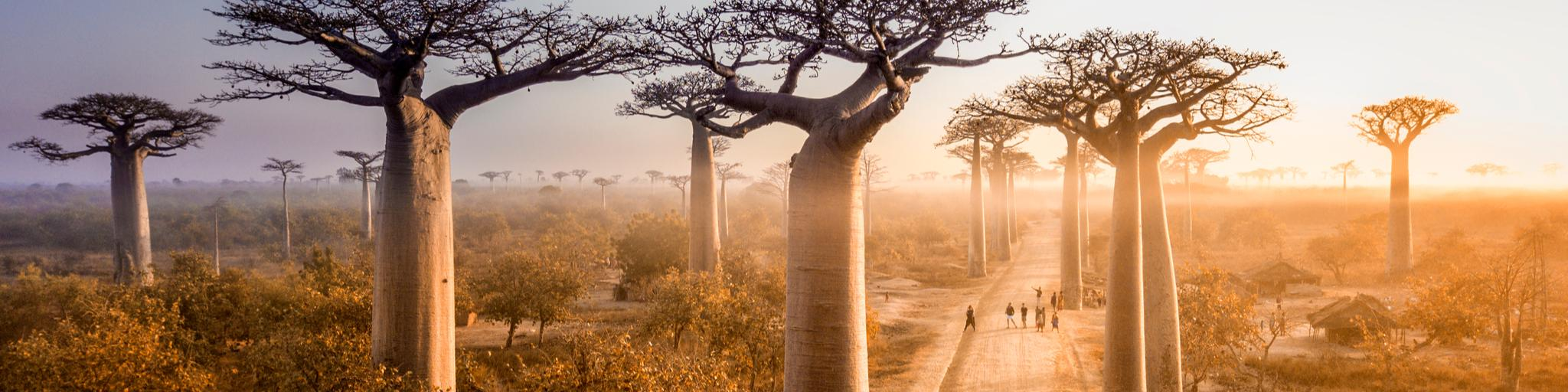 A car drives down the Avenue of the Baobabs in Madagascar, Africa, at sunrise