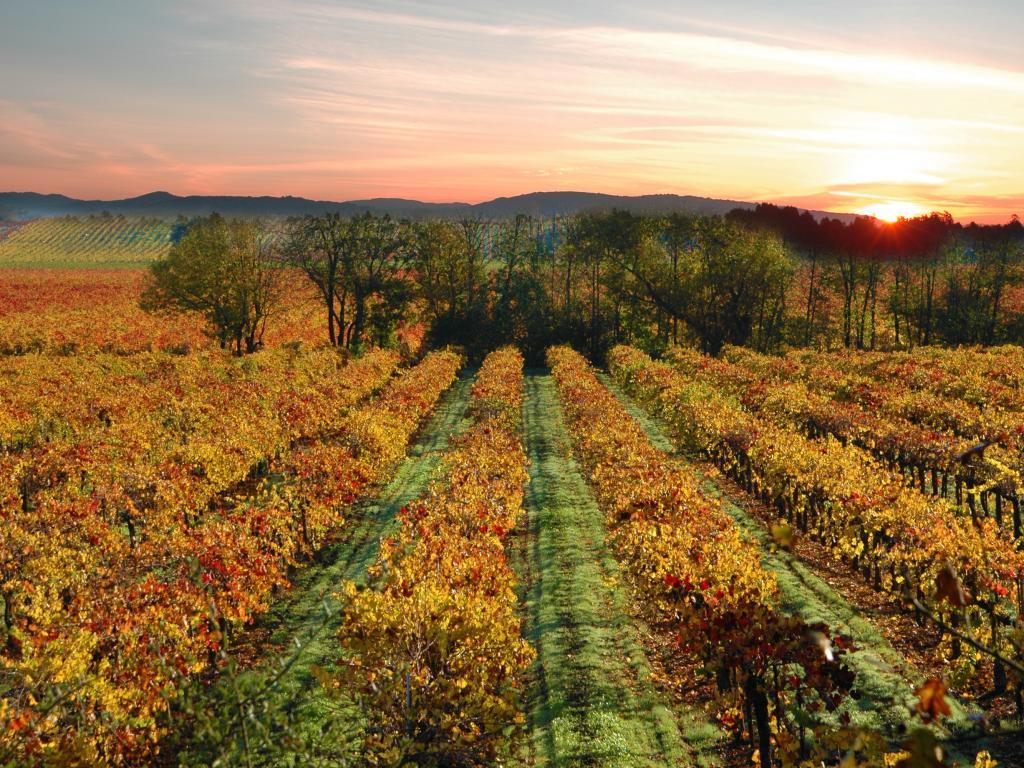Sonoma Vineyards at sunset near Sebastopol, California