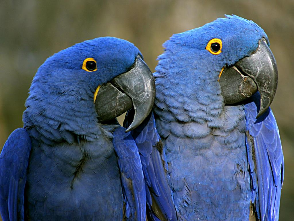 A pair of Purple Macaws at the Nashville Zoo