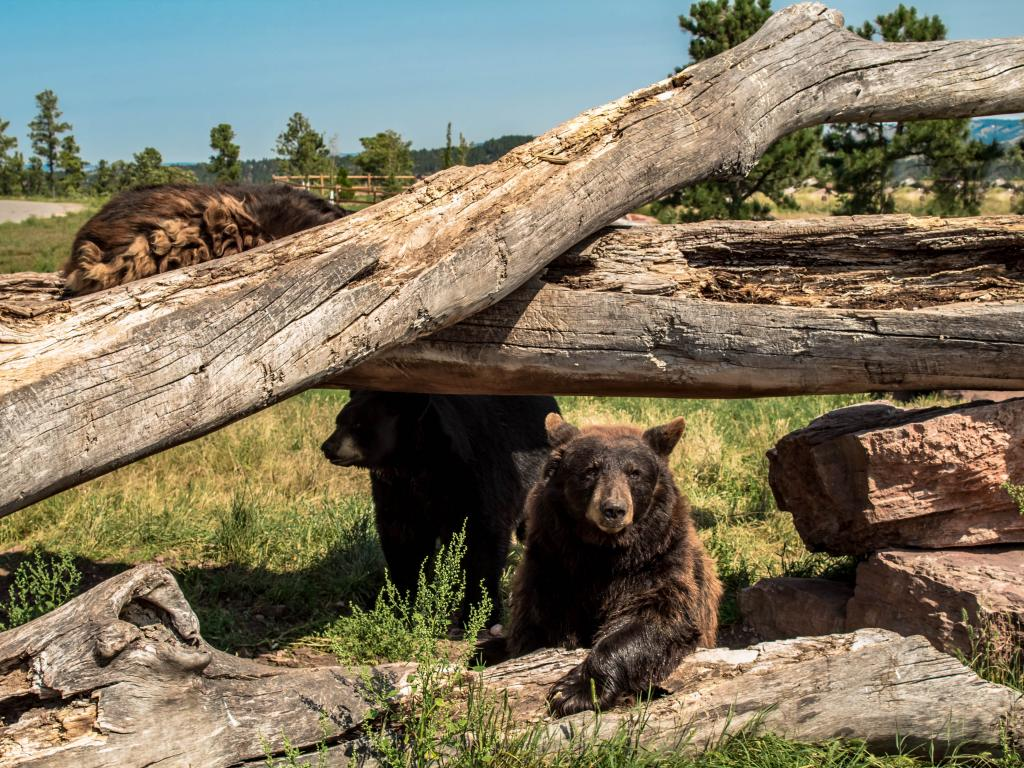 Three North American Black Bear, One Climbing on the fallen trees, and the other two are nesting beneath it with green and golden brown grass around them in Bear Country Park, Rapid City in summer.