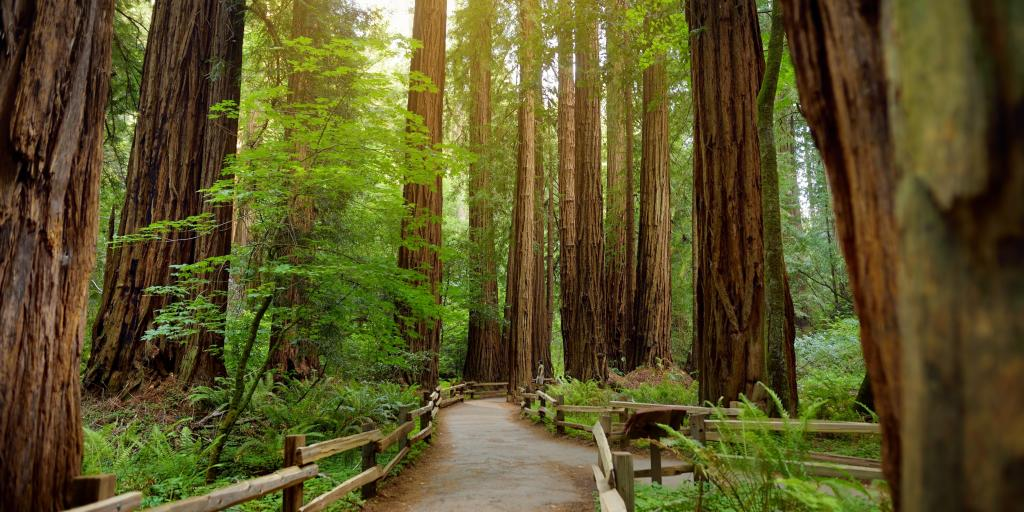 Hiking trail through tall redwoods in Muir Forest in San Francisco