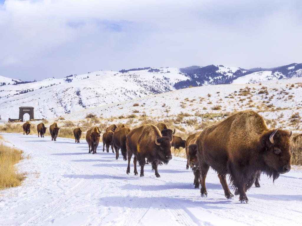Herd of bison in Yellowstone National Park during the winter