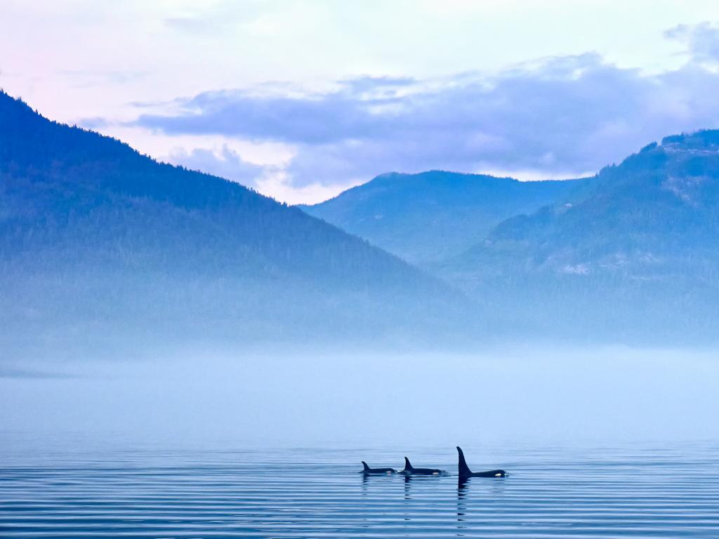 Killer whales at Vancouver Island, British Columbia, Canada