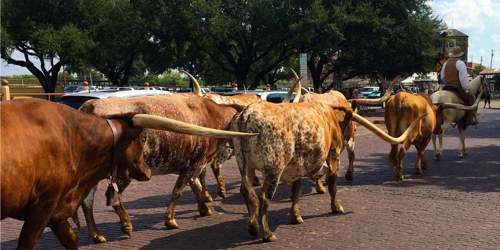 Longhorn cattle being herded by a cowboy at Fort Worth Stockyards cattle drive