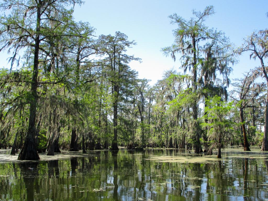Cypress trees growing in the waters of Atchafalaya Swamp, Louisiana.