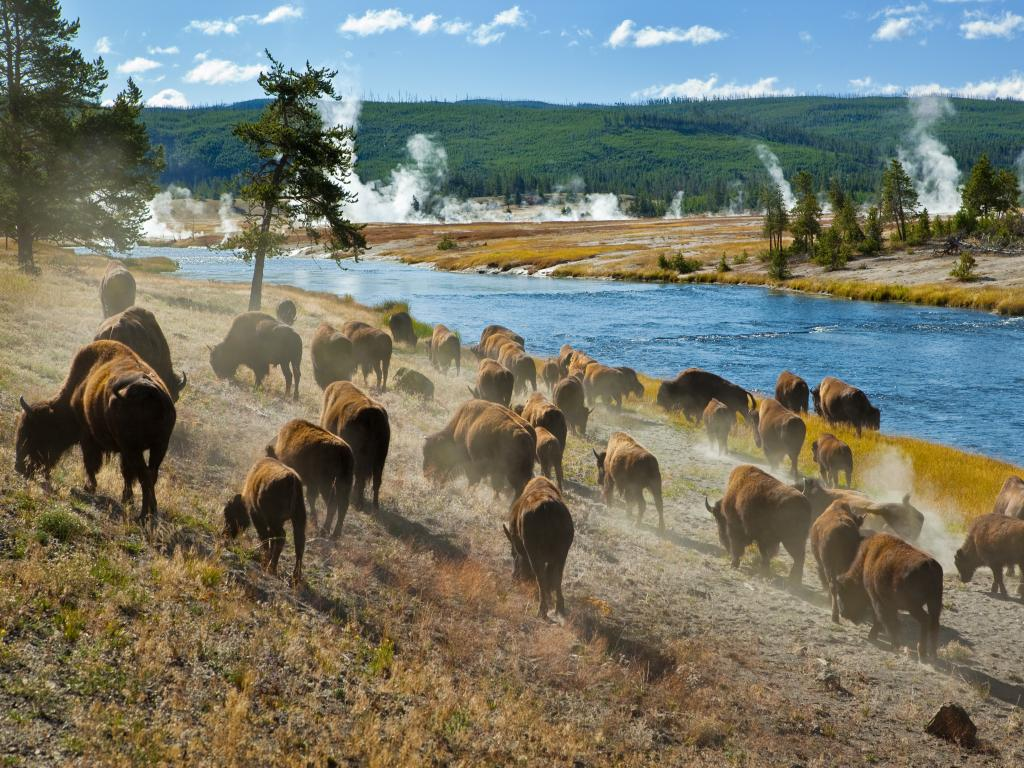 A herd of bison moving along Firehole River in Yellowstone National Park with geysers in the background