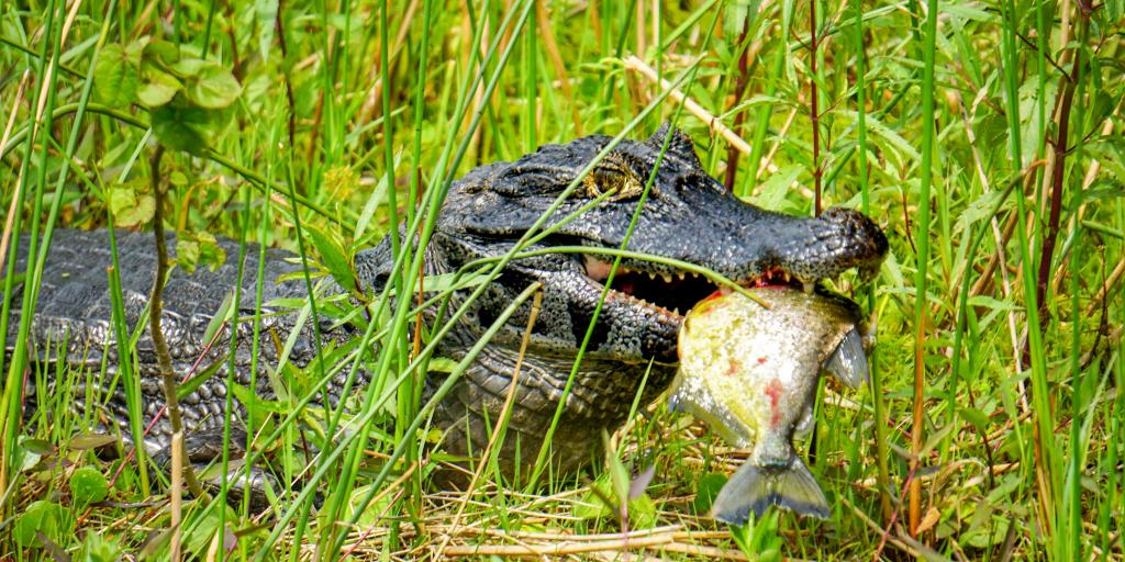 A caiman eating a piranha in the Ibera Wetlands near Colonia Carlos Pellegrini, Argentina